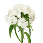 White Bulk Carnation flowers