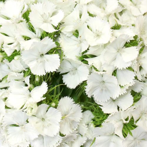 Sweet William White Flowers