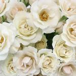 Vanilla Cream Petite Roses