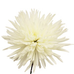 White Anastasia Bulk Flowers