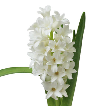 Hyacinth White Flower May to December