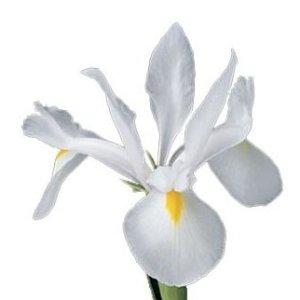 Iris Pure White with Yellow Flower