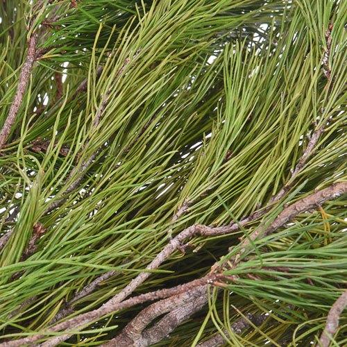 White Pine Winter Greenery