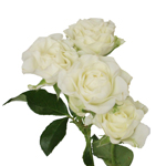 bulk white spray roses