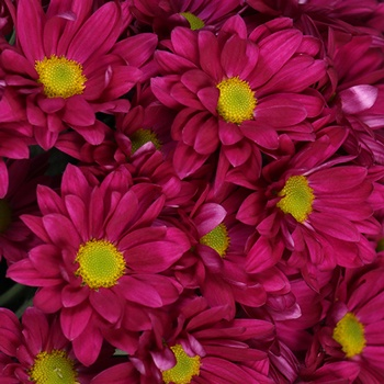 Raspberry Plum Daisy Flower