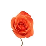 Bulk Rose Dark Orange Wow