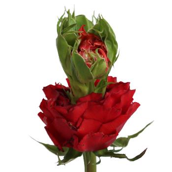 Unique Green Eyed Red Garden Rose
