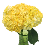 Yellow Tinted Bulk Hydrangea Flower