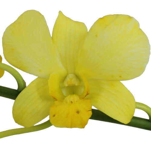 Yellow Dendrobium Orchids
