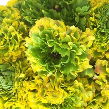 Yellow and Green Pon Pon Ranunculus