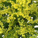 Yellow Aster Flower
