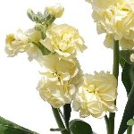 Wholesale Stock Flower Yellow