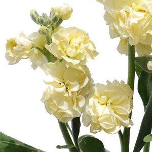 Spray Stock Yellow Fragrant Flower