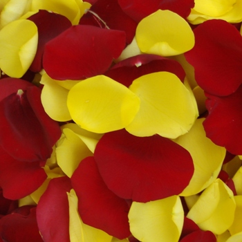 Yellow and Red Fresh Rose Petals