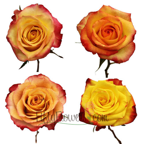 Yellow with Red Edge Roses