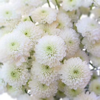 Zip Mini Button Pom White Flower