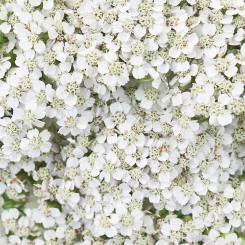 Ivory White Cottage Yarrow Flowers