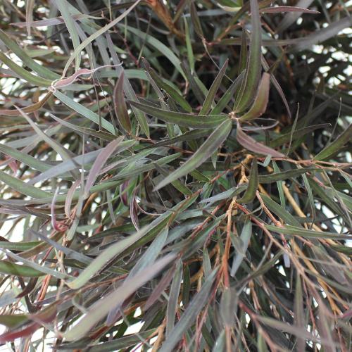 Fresh Cut Agonis Branches