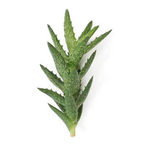 Squarrosa Aloe Designer Succulent
