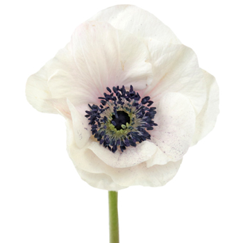 White with a Hint of Blush Fresh Cut Anemone Flower
