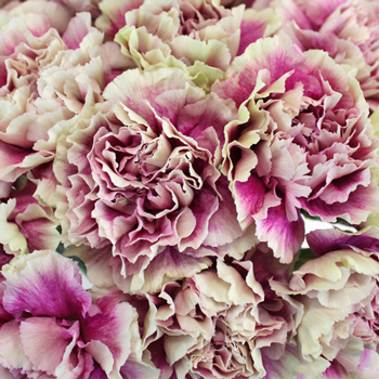 Vintage Pink and Cream Carnation Flowers