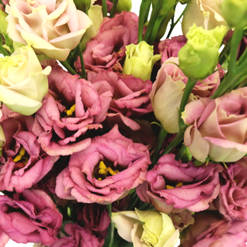 Dusty Rose Lisianthus Flower for June to September Delivery