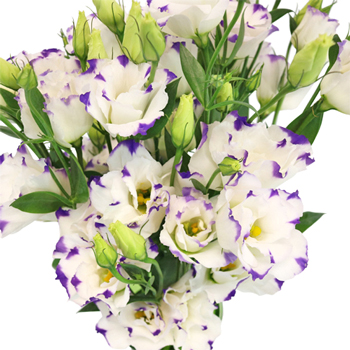 Purple Dot Lisianthus Flower for October to May Delivery