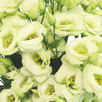 Mint Julep Lisianthus Mini Flower for June to September Delivery