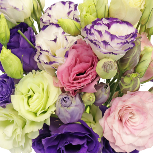 Assorted Double Lisianthus Flowers for October to May Delivery
