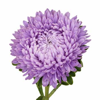 Beauty Aster Soft Purple Flower