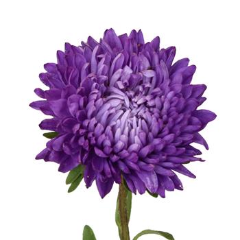Beauty Asters Purple Bulk Flowers