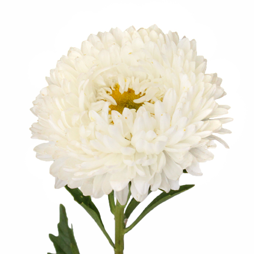 Beauty Asters White Wedding Flower