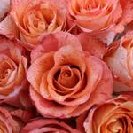 Wholesale Rose Orange Voodoo