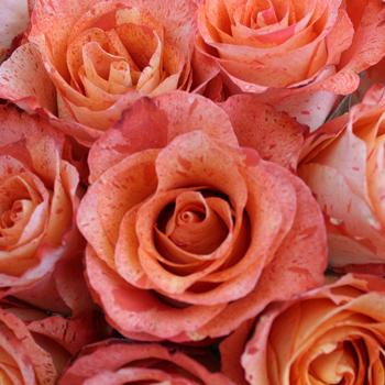 Bengala Bicolor Orange Rose
