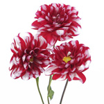 Dahlia Flower Bicolor Red and White
