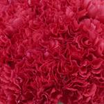 Hot pink Carnation Flower