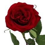 Red Rose Black Magic