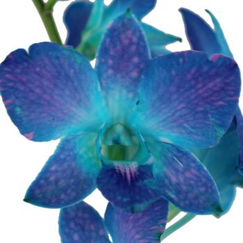 Blue Raspberry Wedding Orchid Lei