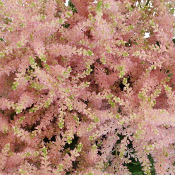 Blush Pink Astilbe Flowers May to October
