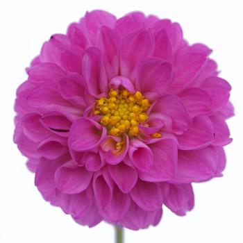Bright Lavender Button Dahlia Flower