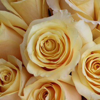 Yellow Butterscotch Fresh Cut Rose