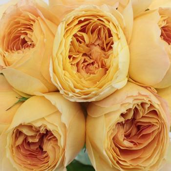 Garden Rose Butterscotch Cream
