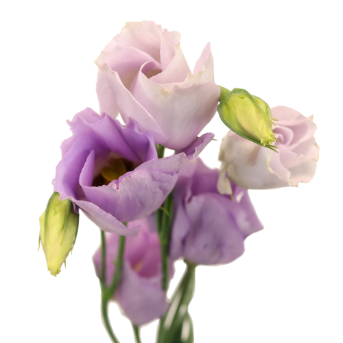 Lavender Single Lisianthus Flower for June to September Delivery