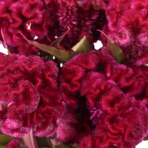 Burgundy Berry Celosia Brain Flowers