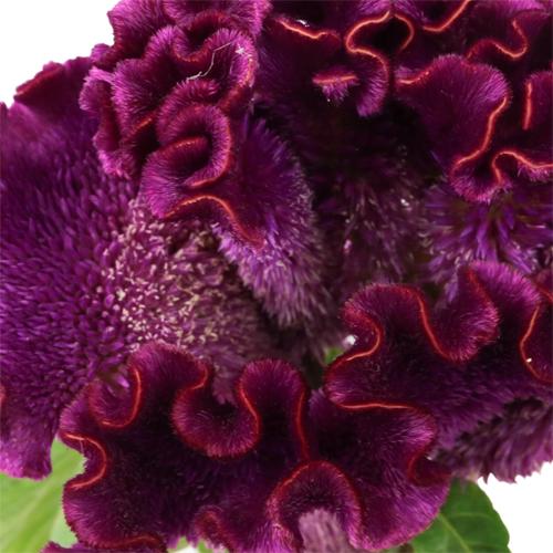 Mulberry Velvet Celosia Flowers