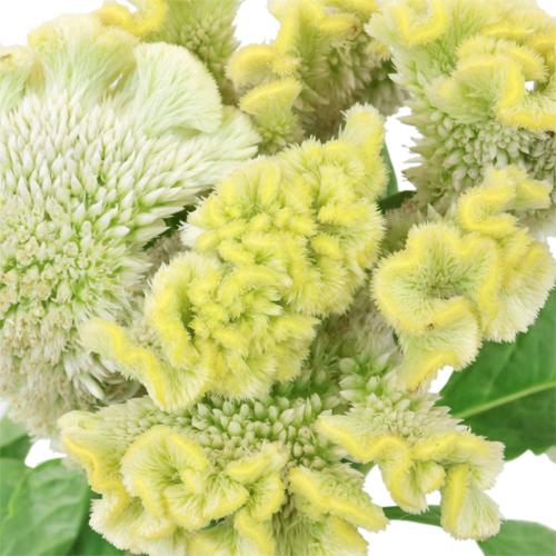 Lemon Mint Brain Celosia Funky Flower