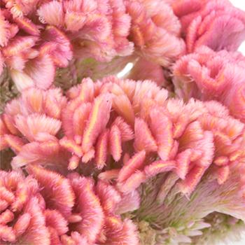 Celosia CoxComb Pink Wholesale Flowers