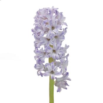 Lavender Grey Hyacinth Flower