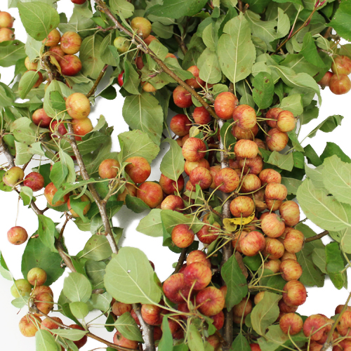 Crab Apples Wholesale Branches