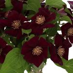 Baby_Breath_Flower_New_Love_150.jpg
